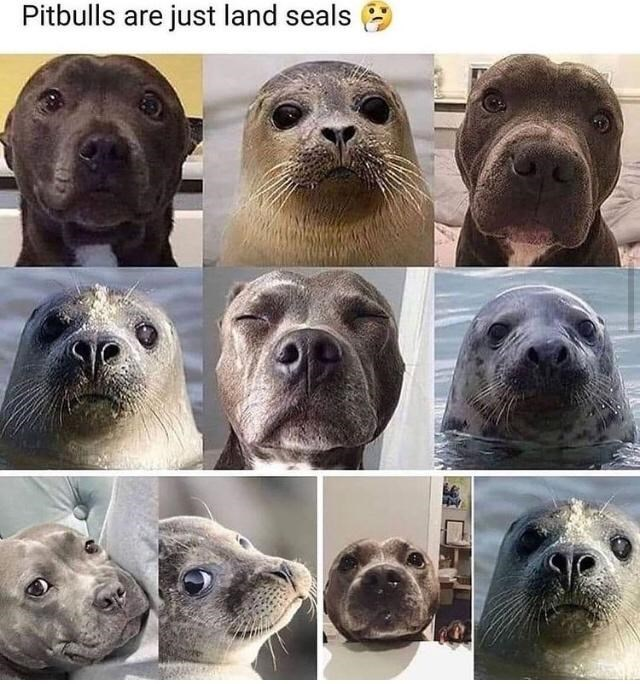 Photograph - Pitbulls are just land seals