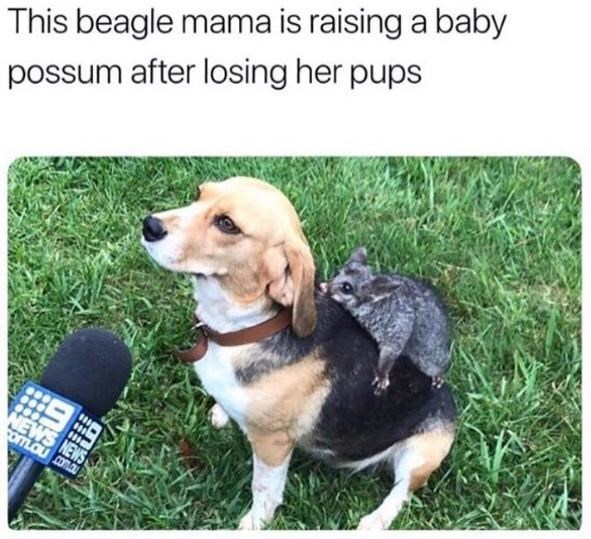 Dog - This beagle mama is raising a baby possum after losing her pups NEWS NEWS om.ou coma