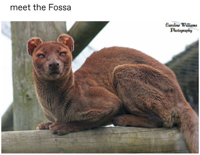 Felidae - meet the Fossa Caroline Williams Photography