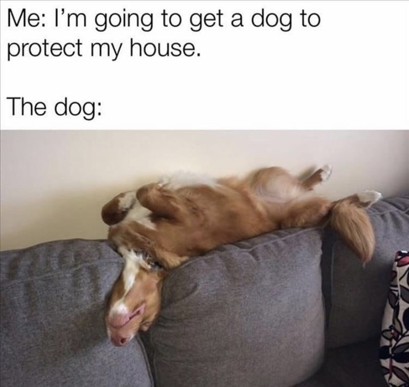 Dog - Me: I'm going to get a dog to protect my house. The dog:
