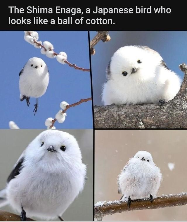 Photograph - The Shima Enaga, a Japanese bird who looks like a ball of cotton.