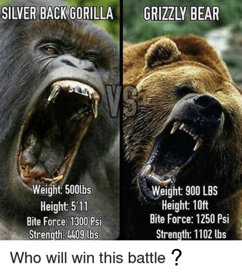 Mouth - SILVER BACK GORILLA GRIZZLY BEAR VS Weight: 500lbs Height: 5'11 Weight: 900 LBS Height: 10ft Bite Force: 1250 Psi Bite Force: 1300 Psi Strength: 4409 lbs Strength: 1102 lbs Who will win this battle ?