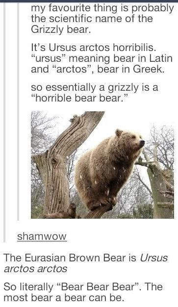 """Nature - my favourite thing is probably the scientific name of the Grizzly bear. It's Ursus arctos horribilis. """"ursus"""" meaning bear in Latin and """"arctos"""", bear in Greek. so essentially a grizzly is a """"horrible bear bear."""" shamwow The Eurasian Brown Bear is Ursus arctos arctos So literally """"Bear Bear Bear"""". The most bear a bear can be."""