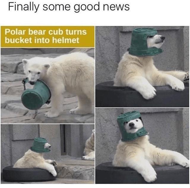 Photograph - Finally some good news Polar bear cub turns bucket into helmet