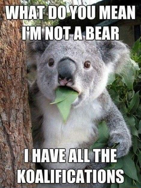 Koala - WHAT DO YOU MEAN I'M NOT A BEAR I HAVE ALL THE KOALIFICATIONS