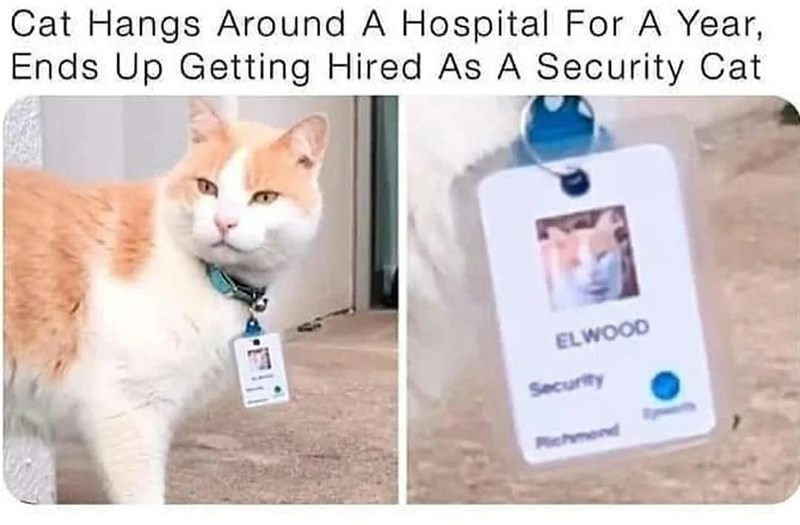 Cat - Cat Hangs Around A Hospital For A Year, Ends Up Getting Hired As A Security Cat ELWOOD Security Pchmend