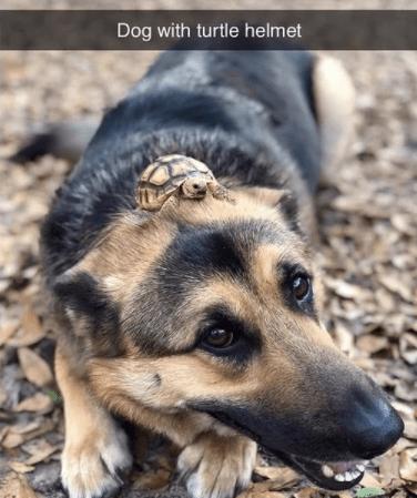 Dog - Dog with turtle helmet