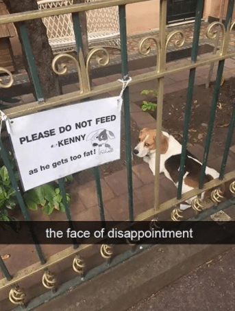 Dog - PLEASE DO NOT FEED KENNY as he gets too fat! the face of disappointment
