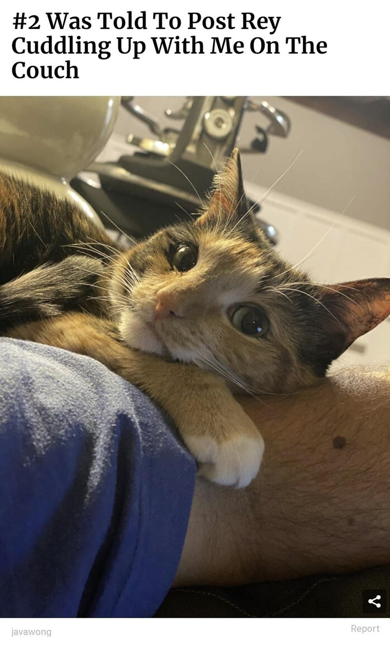Cat - #2 Was Told To Post Rey Cuddling Up With Me On The Couch javawong Report