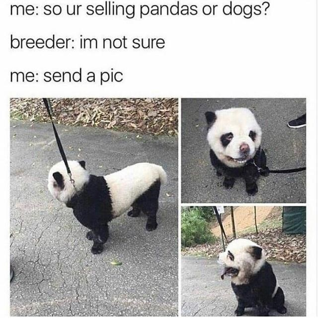 Photograph - me: so ur selling pandas or dogs? breeder: im not sure me: send a pic