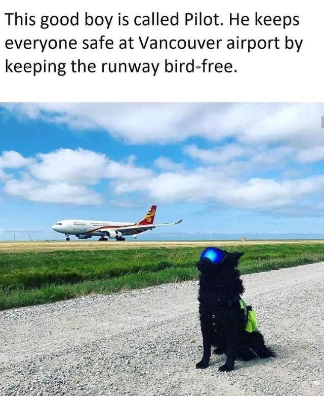 Cloud - This good boy is called Pilot. He keeps everyone safe at Vancouver airport by keeping the runway bird-free.