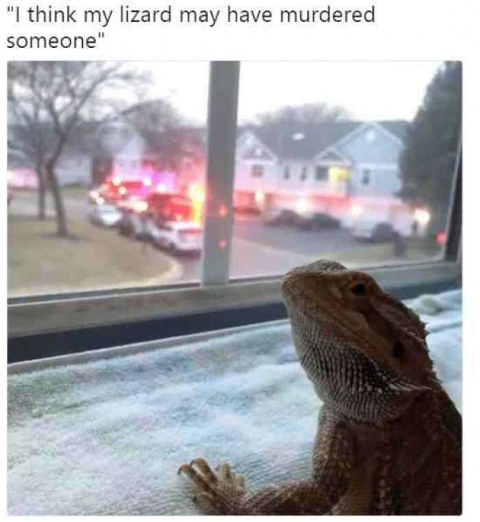 """Iguania - """"I think my lizard may have murdered someone"""""""