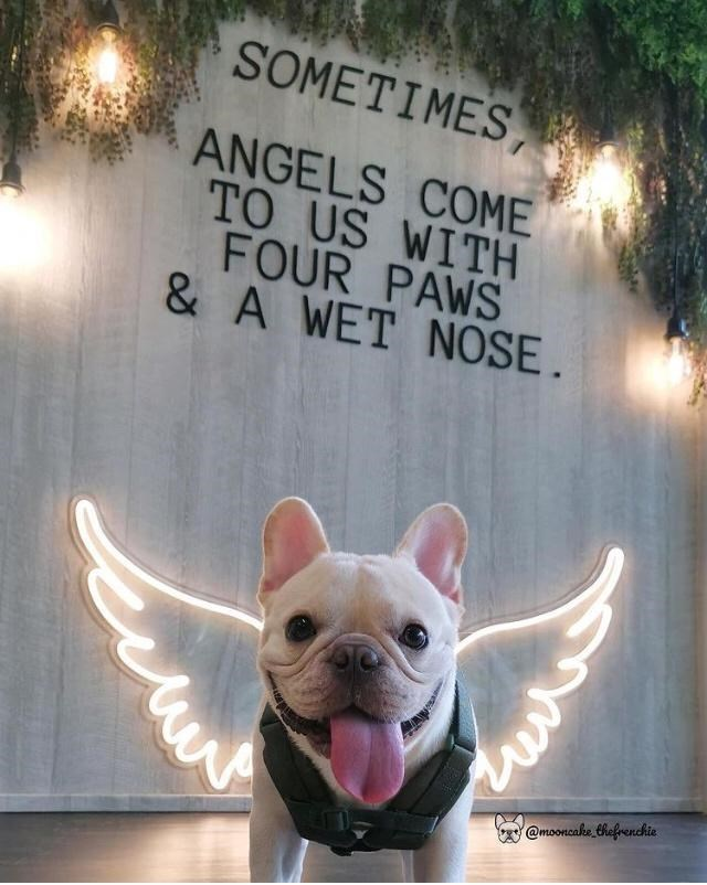 White - SOMETIMES ANGELS COME TO US WITH FOUR PAWS & A WET NOSE . @mooncake thefrenchie