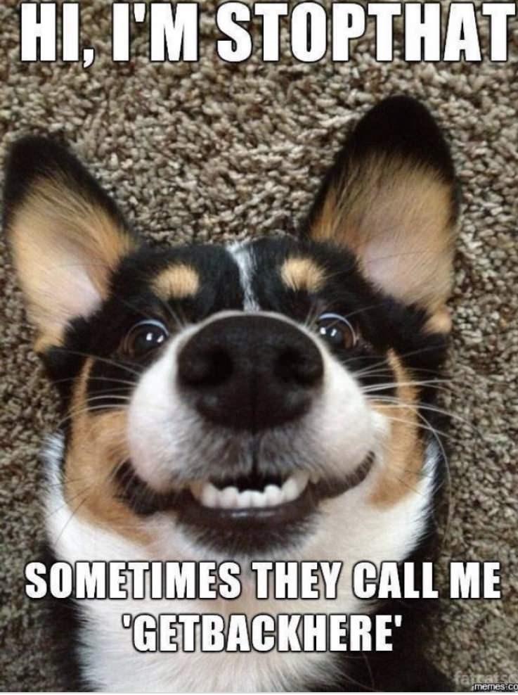 "Dog - HI, I'M STOPTHAT SOMETIMES THEY CALL ME ""GETBACKHERE' fattat memes co"