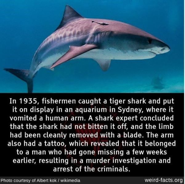 Water - In 1935, fishermen caught a tiger shark and put it on display in an aquarium in Sydney, where it vomited a human arm. A shark expert concluded that the shark had not bitten it off, and the limb had been cleanly removed with a blade. The arm also had a tattoo, which revealed that it belonged to a man who had gone missing a few weeks earlier, resulting in a murder investigation and arrest of the criminals. Photo courtesy of Albert kok / wikimedia weird-facts.org