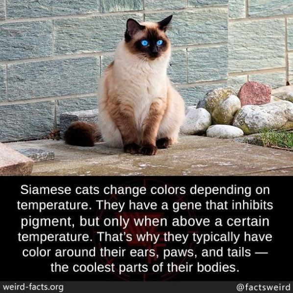 Cat - Siamese cats change colors depending on temperature. They have a gene that inhibits pigment, but only when above a certain temperature. That's why they typically have color around their ears, paws, and tails – the coolest parts of their bodies. weird-facts.org @factsweird