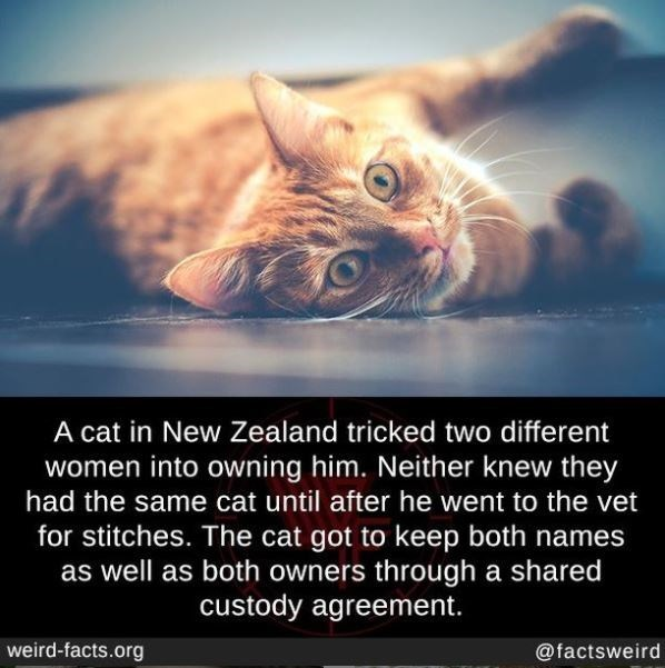 Cat - A cat in New Zealand tricked two different women into owning him. Neither knew they had the same cat until after he went to the vet for stitches. The cat got to keep both names as well as both owners through a shared custody agreement. weird-facts.org @factsweird
