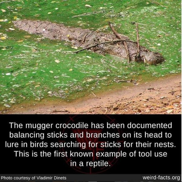 Water resources - The mugger crocodile has been documented balancing sticks and branches on its head to lure in birds searching for sticks for their nests. This is the first known example of tool use in a reptile. Photo courtesy of Vladimir Dinets weird-facts.org