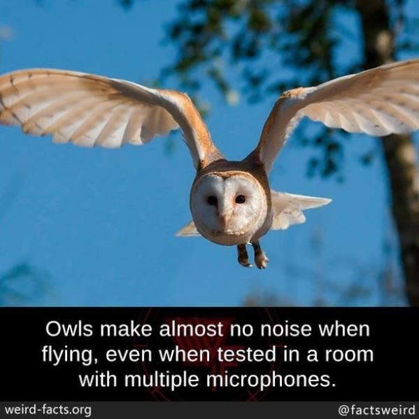 Sky - Owls make almost no noise when flying, even when tested in a room with multiple microphones. weird-facts.org @factsweird