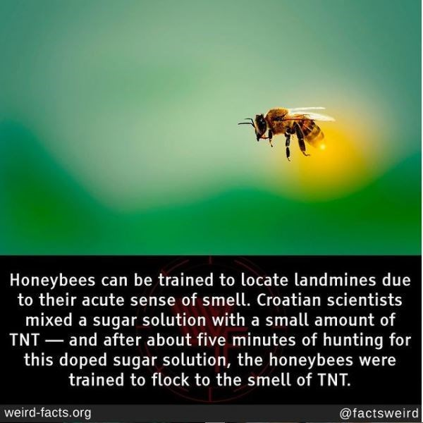 Organism - Honeybees can be trained to locate landmines due to their acute sense of smell. Croatian scientists mixed a sugar solution with a small amount of TNT – and after about five minutes of hunting for this doped sugar solution, the honeybees were trained to flock to the smell of TNT. - weird-facts.org @factsweird