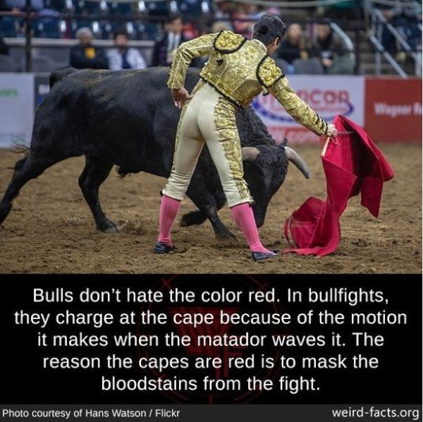 Matador - ENT COR Wpr Bulls don't hate the color red. In bullfights, they charge at the cape because of the motion it makes when the matador waves it. The reason the capes are red is to mask the bloodstains from the fight. Photo courtesy of Hans Watson / Flickr weird-facts.org