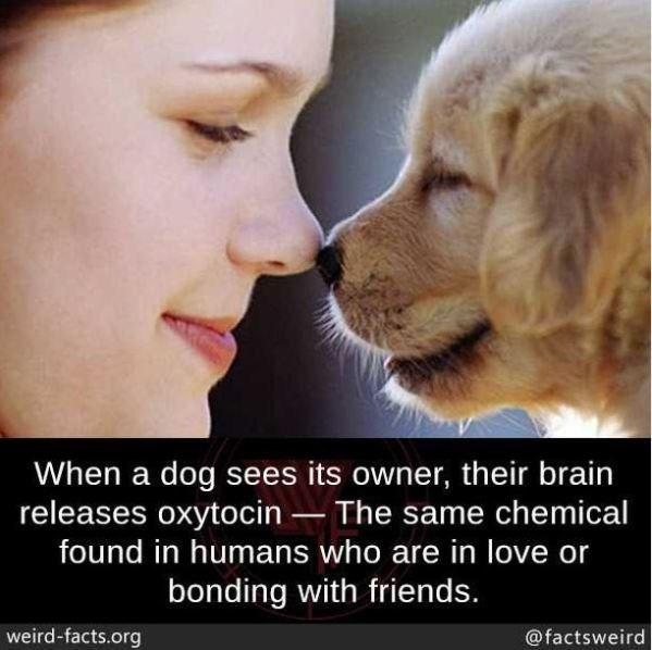 Nose - When a dog sees its owner, their brain releases oxytocin – The same chemical found in humans who are in love or bonding with friends. weird-facts.org @factsweird