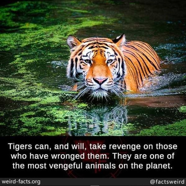 Water - Tigers can, and will, take revenge on those who have wronged them. They are one of the most vengeful animals on the planet. weird-facts.org @factsweird