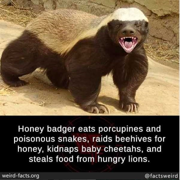Nature - Honey badger eats porcupines and poisonous snakes, raids beehives for honey, kidnaps baby cheetahs, and steals food from hungry lions. weird-facts.org @factsweird