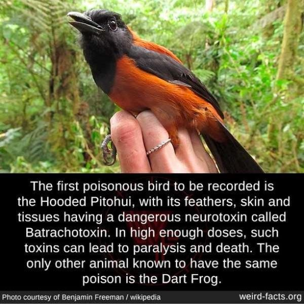 Bird - The first poisonous bird to be recorded is the Hooded Pitohui, with its feathers, skin and tissues having a dangerous neurotoxin called Batrachotoxin. In high enough doses, such toxins can lead to paralysis and death. The only other animal known to have the same poison is the Dart Frog. Photo courtesy of Benjamin Freeman / wikipedia weird-facts.org