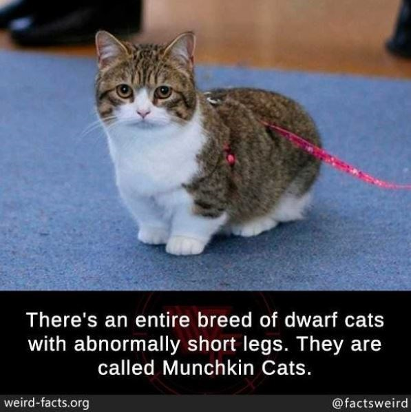 Cat - There's an entire breed of dwarf cats with abnormally short legs. They are called Munchkin Cats. weird-facts.org @factsweird