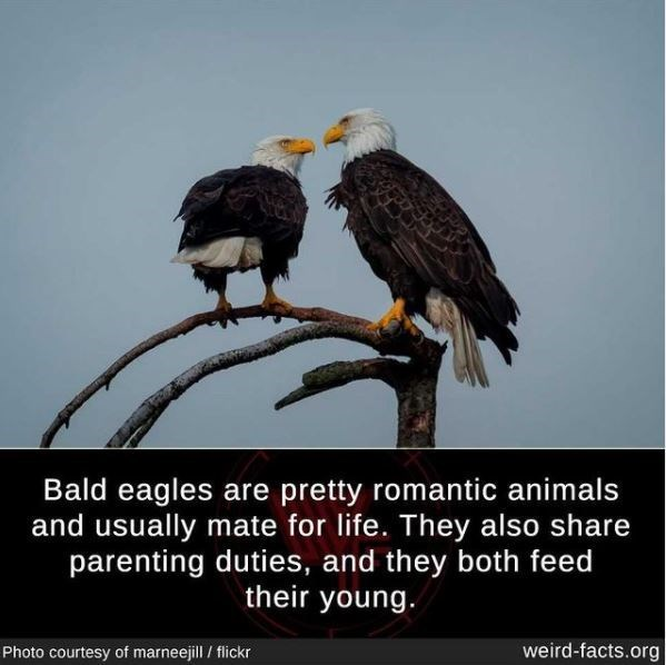 Bird - Bald eagles are pretty romantic animals and usually mate for life. They also share parenting duties, and they both feed their young. Photo courtesy of marneejill / flickr weird-facts.org