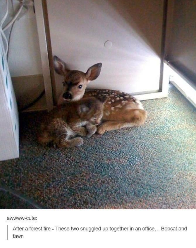 Rabbit - awwww-cute: After a forest fire - These two snuggled up together in an office... Bobcat and fawn