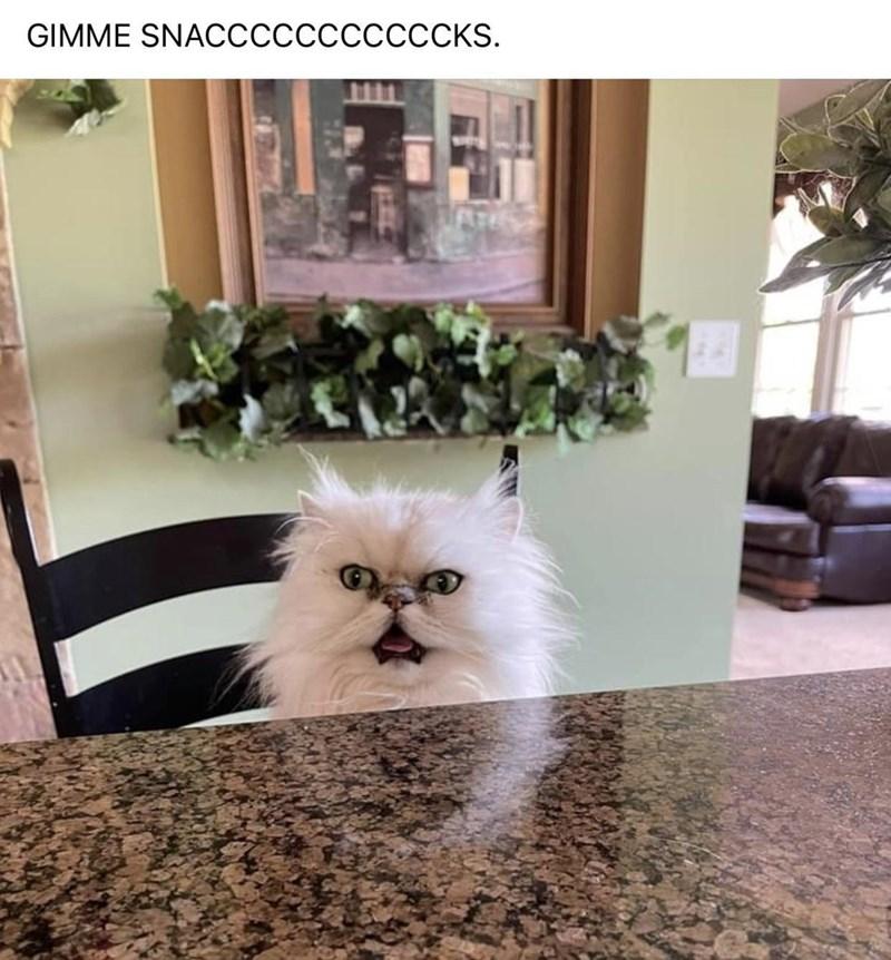 Cat - GIMME SNACcccccccccCKS.