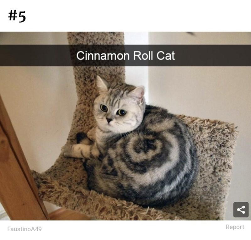 Cat - #5 Cinnamon Roll Cat Report FaustinoA49