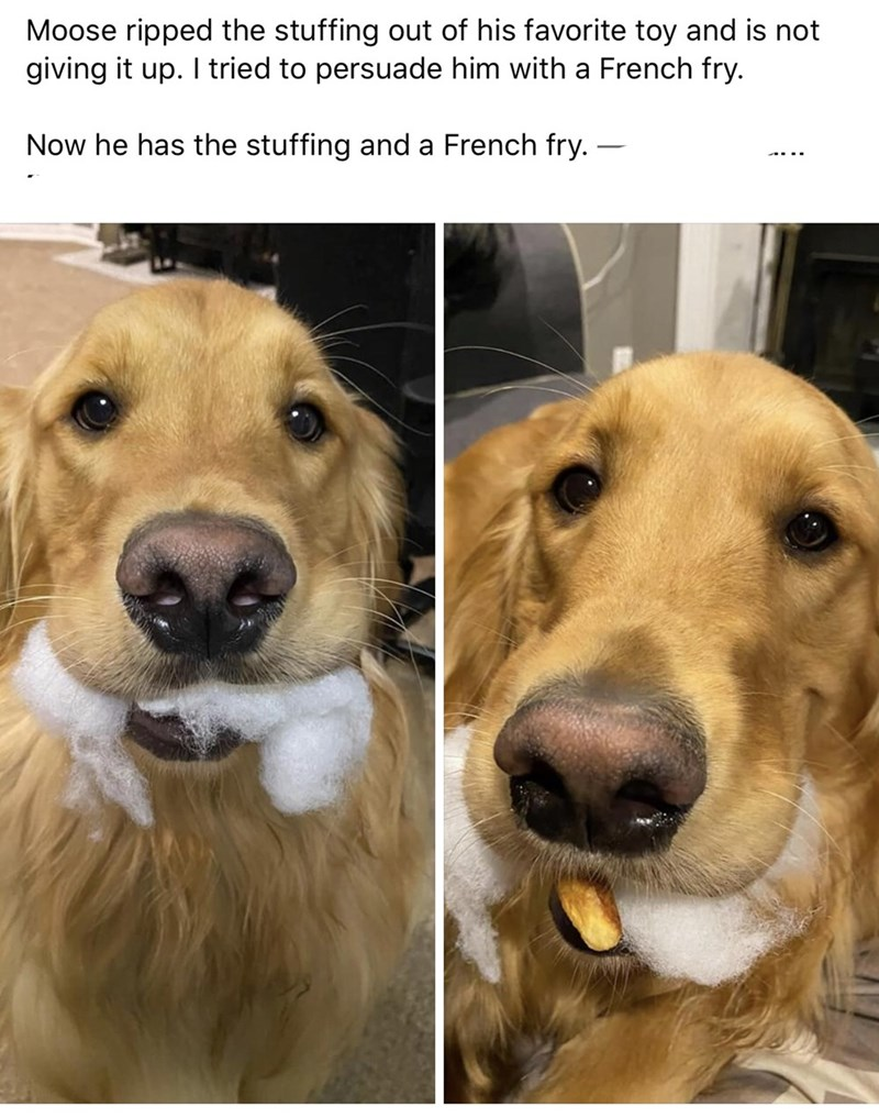 Nose - Moose ripped the stuffing out of his favorite toy and is not giving it up. I tried to persuade him with a French fry. Now he has the stuffing and a French fry. –