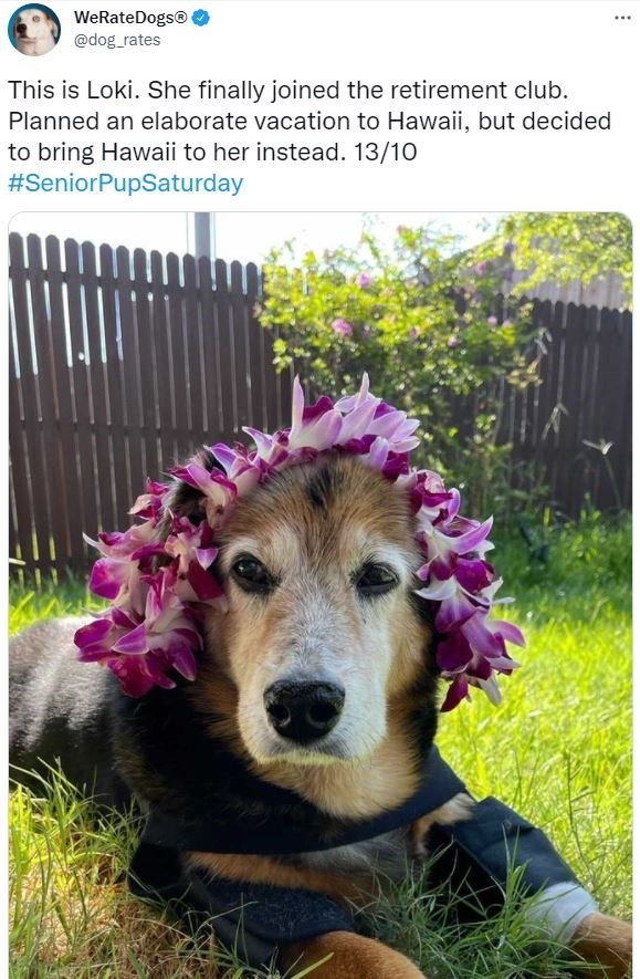 Flower - WeRateDogs© @dog_rates This is Loki. She finally joined the retirement club. Planned an elaborate vacation to Hawaii, but decided to bring Hawaii to her instead. 13/10 #SeniorPupSaturday