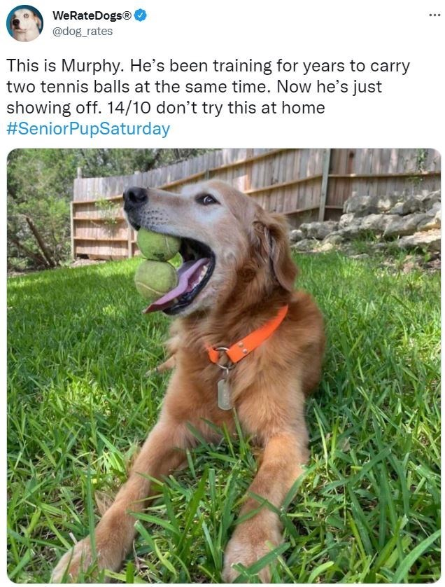 Dog - WeRateDogs® @dog_rates ... This is Murphy. He's been training for years to carry two tennis balls at the same time. Now he's just showing off. 14/10 don't try this at home #SeniorPupSaturday