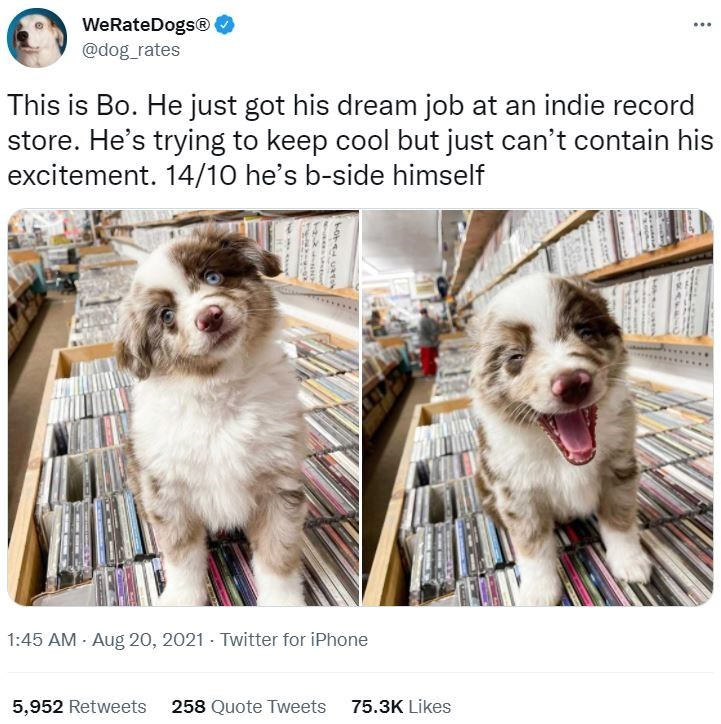 Dog - WeRateDogs® ... @dog_rates This is Bo. He just got his dream job at an indie record store. He's trying to keep cool but just can't contain his excitement. 14/10 he's b-side himself 1:45 AM - Aug 20, 2021 · Twitter for iPhone 5,952 Retweets 258 Quote Tweets 75.3K Likes hote