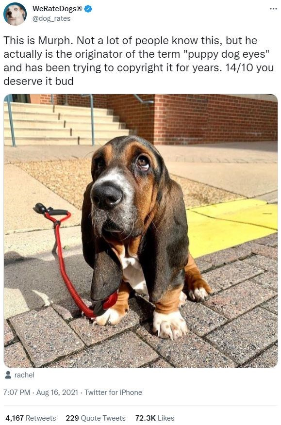 """Dog - WeRateDogs® @dog_rates ... This is Murph. Not a lot of people know this, but he actually is the originator of the term """"puppy dog eyes"""" and has been trying to copyright it for years. 14/10 you deserve it bud rachel 7:07 PM · Aug 16, 2021 - Twitter for iPhone 4,167 Retweets 229 Quote Tweets 72.3K Likes"""