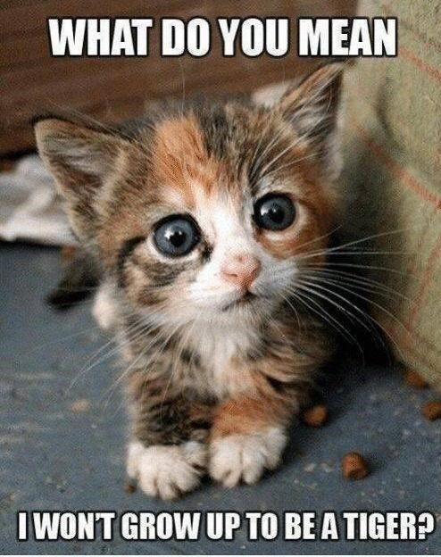 Cat - WHAT DO YOU MEAN I WONT GROW UP TO BE A TIGER?