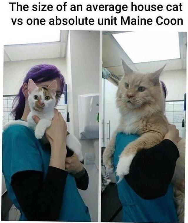 Cat - The size of an average house cat vs one absolute unit Maine Coon