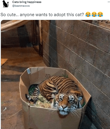Bengal tiger - Cats bring happiness @bestmeows So cute.. anyone wants to adopt this cat? ee U2