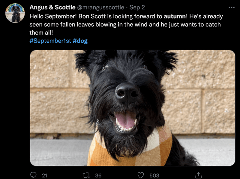 Dog - Angus & Scottie @mrangusscottie · Sep 2 Hello September! Bon Scott is looking forward to autumn! He's already seen some fallen leaves blowing in the wind and he just wants to catch them all! #September1st #dog 21 27 36 503