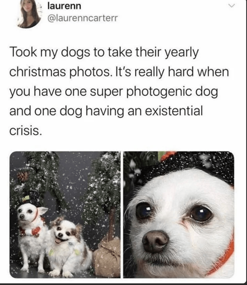 Dog - laurenn @laurenncarterr Took my dogs to take their yearly christmas photos. It's really hard when you have one super photogenic dog and one dog having an existential crisis.