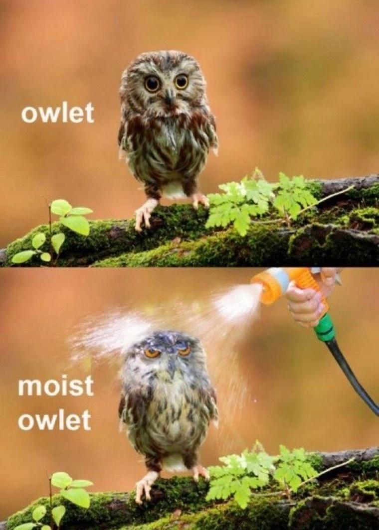 Bird - owlet moist owlet
