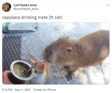 Vertebrate - CAPYBARA MAN @CAPYBARA_MAN capybara drinking mate (ft cat) 9:12 PM - Sep 11. 2021 - Twitter for iPhone