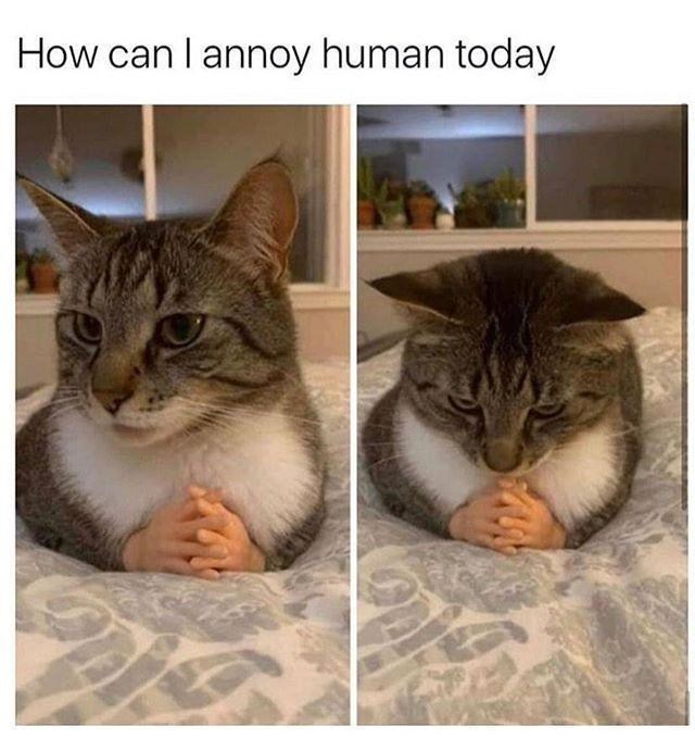 Cat - How can I annoy human today
