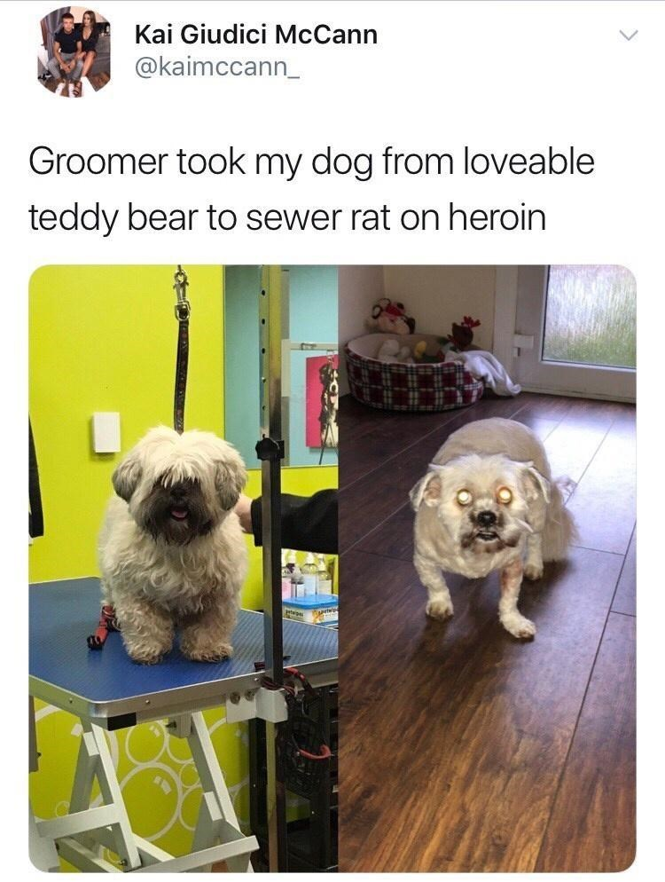 Dog - Kai Giudici McCann @kaimccann_ Groomer took my dog from loveable teddy bear to sewer rat on heroin
