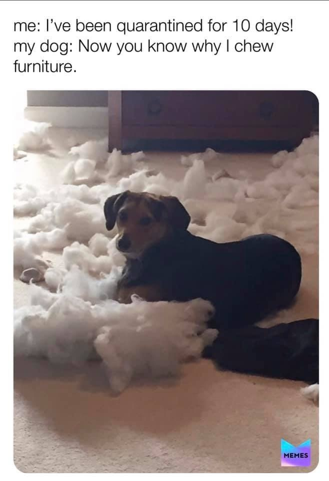 Dog - me: l've been quarantined for 10 days! my dog: Now you know why I chew furniture. MEMES