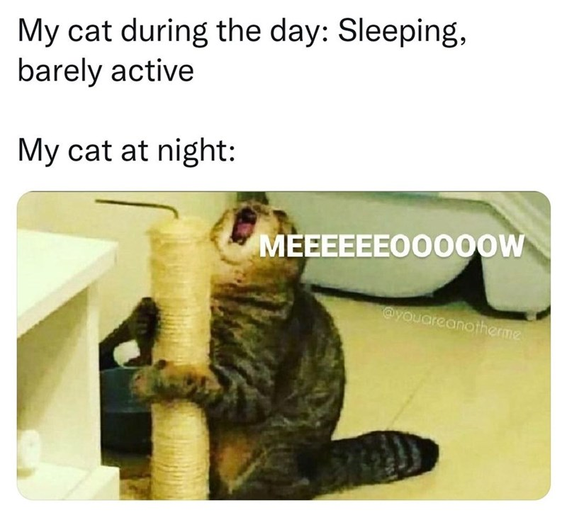 Cat - My cat during the day: Sleeping, barely active My cat at night: MEEEEEEO00OOW ayouareanotherme